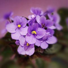 violets flowers nature