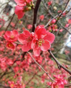 cherryblossom beautifulflowers beautifulnature macro nature