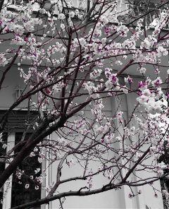 freetoedit spring sakura pinkblossoms nature
