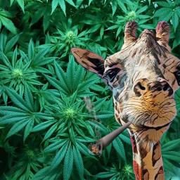 FreeToEdit picsartstickers picsartsticker giraffe weed joint medicalmarijuana